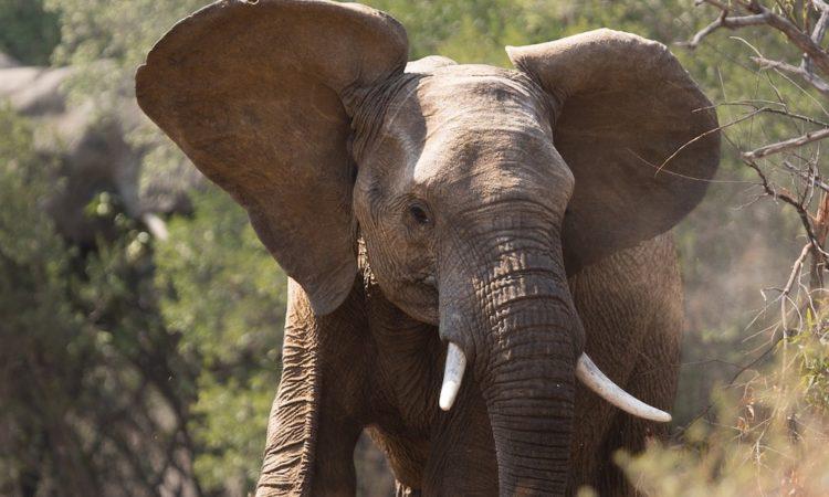 Африканский слон Буш