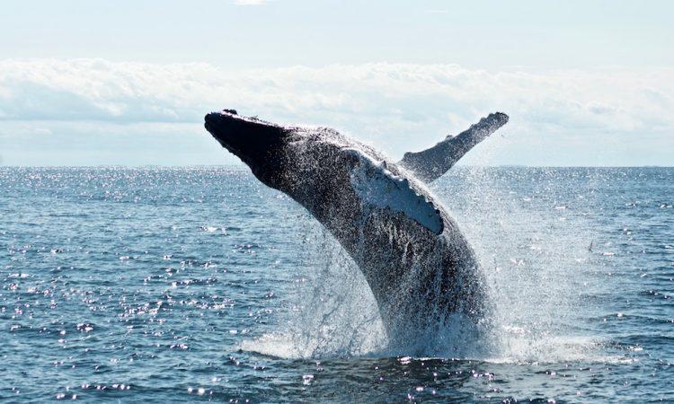 Южный кит