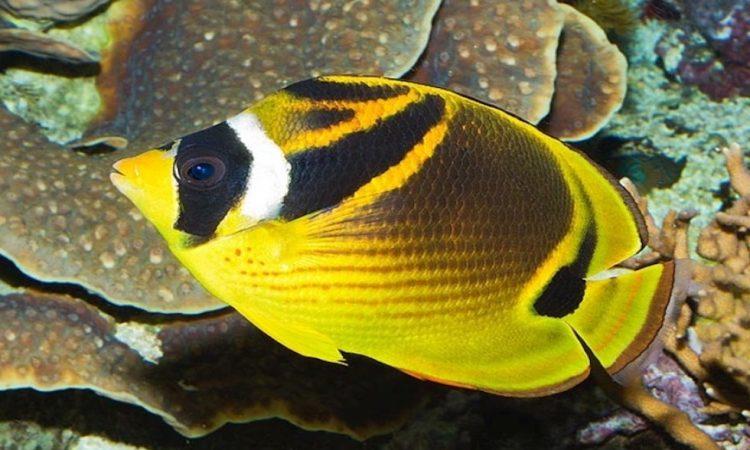 Рыба Бабочка- енот (Лунула)