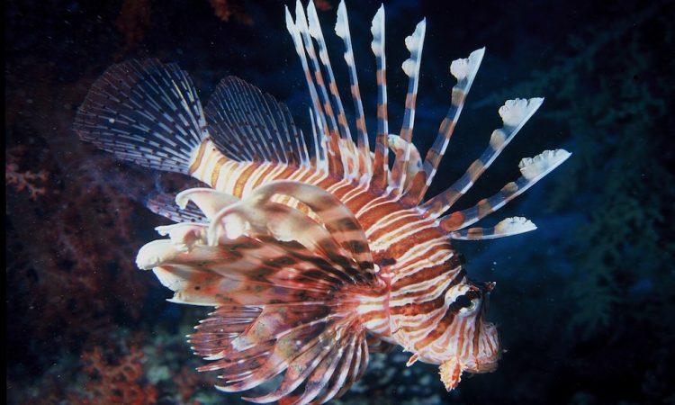 Крылатка рыба