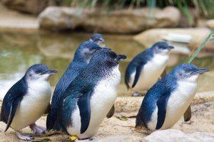 Малый голубой пингвин