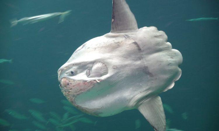 Рыба-солнце