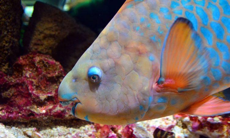 Рыба- попугай