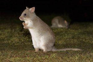 Крыса - кенгуру