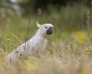 Большой желтохохлый какаду